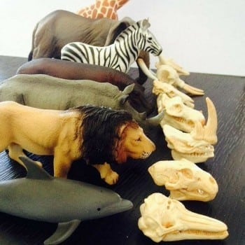 safari toys are little replicas of common mammal skulls. Explore the insides of your favourite animals